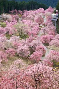 シダレザクラ咲く高見の郷 の写真素材 [FYI01795781]
