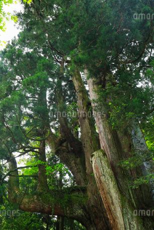 八坂神社 杉の大スギの写真素材 [FYI01795885]