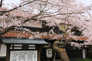 新庄宿のがいせん桜の写真素材 [FYI01795930]