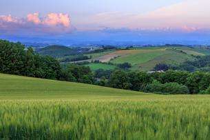 麦が実る夕暮れの丘の写真素材 [FYI01796513]