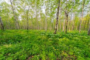 キトウシ森林公園のシラカバ林の写真素材 [FYI01796541]