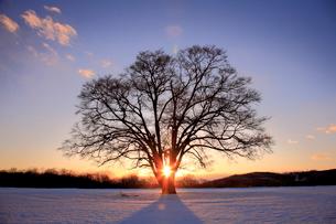 夕日に映えるハルニレの木の写真素材 [FYI01796643]