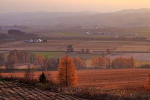夕陽に輝くカラマツの写真素材 [FYI01796648]