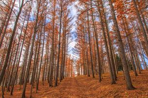 カラマツ林の向こうに続く道の写真素材 [FYI01796684]