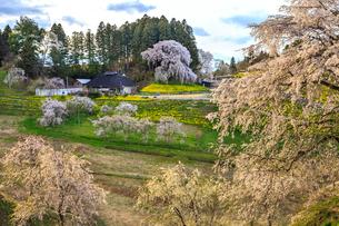 合戦場のしだれ桜の写真素材 [FYI01796770]