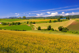小麦実る美瑛の丘の写真素材 [FYI01796806]