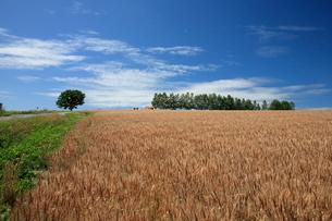 小麦実る丘とセブンスターの木の写真素材 [FYI01796866]