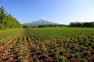作物育つ大地と斜里岳の写真素材 [FYI01796954]