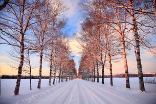 冬の夕暮れの白樺並木の写真素材 [FYI01796958]