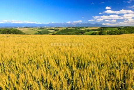 そよ風になびく小麦と十勝岳連峰の写真素材 [FYI01796968]
