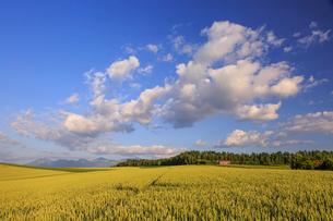 小麦実る美瑛の丘の写真素材 [FYI01797065]
