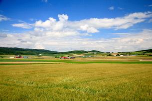そよ風になびく小麦畑の写真素材 [FYI01797070]