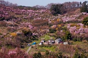 春爛漫の花見山の写真素材 [FYI01797093]