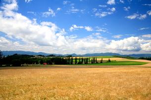 そよ風になびく小麦畑とポプラ並木の写真素材 [FYI01797189]