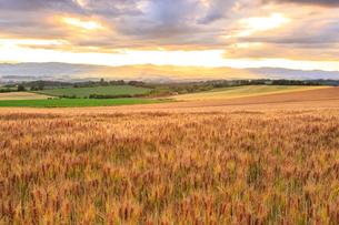小麦輝く夕暮れ間近の美瑛の丘の写真素材 [FYI01797368]
