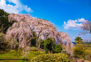田ノ頭郷のしだれ桜(波佐見町)の桜の写真素材 [FYI01797442]