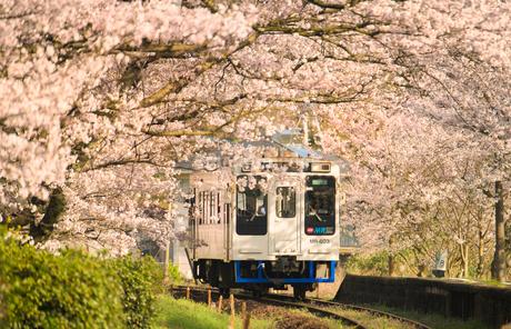 浦ノ崎駅(松浦鉄道)の桜の写真素材 [FYI01797480]