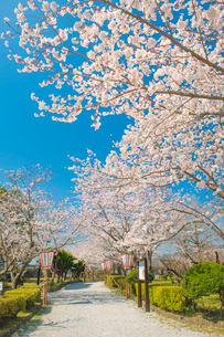 臼杵城址の桜の写真素材 [FYI01797511]