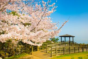 西公園の桜 福岡市の写真素材 [FYI01797523]