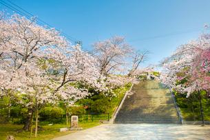 西公園の桜 福岡市の写真素材 [FYI01797560]