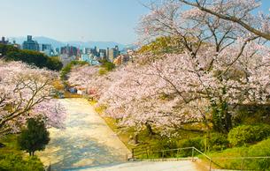 西公園の桜 福岡市の写真素材 [FYI01797561]
