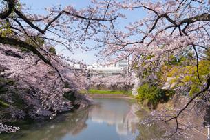 千鳥が淵の桜の写真素材 [FYI01797627]