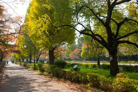 国立大学通り,秋の風景の写真素材 [FYI01797651]
