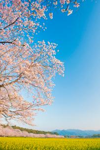 西都原古墳群の桜と菜の花の写真素材 [FYI01797726]