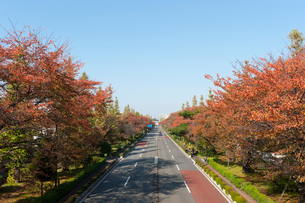 国立の大学通りの秋の風景の写真素材 [FYI01797785]