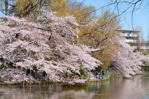 武蔵関公園の桜の写真素材 [FYI01797801]