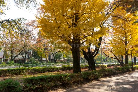 国立の大学通りの秋の風景の写真素材 [FYI01797883]