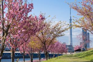 南千住の汐入公園の桜の写真素材 [FYI01797893]