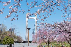 木場公園の桜の写真素材 [FYI01797898]