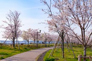 小松川千本桜の桜並木の写真素材 [FYI01797925]