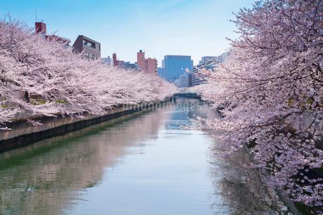 門前仲町の大横川の桜並木の写真素材 [FYI01797963]