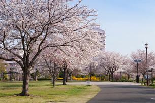 大島小松川公園の桜の写真素材 [FYI01797968]