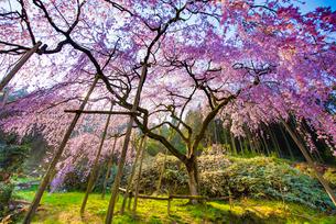 田ノ頭郷のしだれ桜(波佐見町)の桜の写真素材 [FYI01798058]