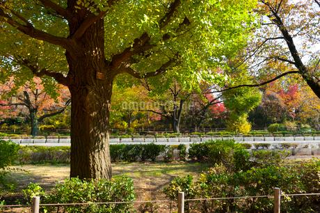 国立の大学通りの秋の風景の写真素材 [FYI01798062]