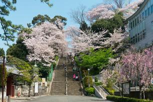 池上本門寺の桜の写真素材 [FYI01798086]