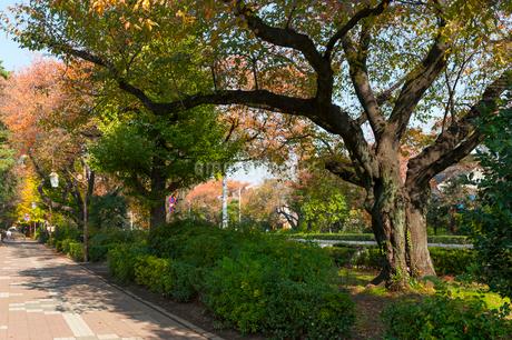 国立の大学通りの秋の風景の写真素材 [FYI01798127]