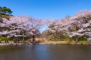 白金自然教育園の桜の写真素材 [FYI01798137]