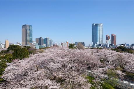 青山霊園の桜の写真素材 [FYI01798141]
