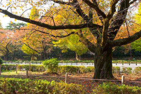 国立大学通り,秋の風景の写真素材 [FYI01798222]