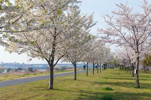 小松川千本桜の写真素材 [FYI01798272]