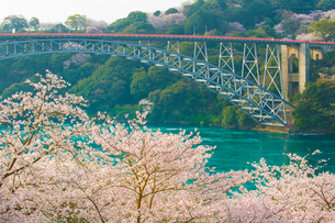 西海橋公園の桜の写真素材 [FYI01798273]