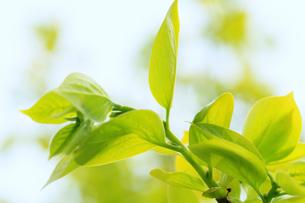 新緑・カキの葉の写真素材 [FYI01798356]