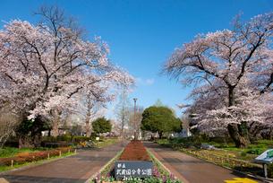 武蔵国分寺公園の桜の写真素材 [FYI01798388]