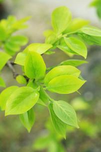 新緑・カキの葉の写真素材 [FYI01798392]