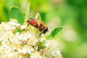花にミツバチの写真素材 [FYI01798406]