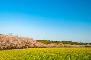 西都原古墳群の桜と菜の花の写真素材 [FYI01798462]
